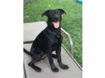 Adopt Ette a Black Labrador Retriever dog in Byhalia, TN (25635091)