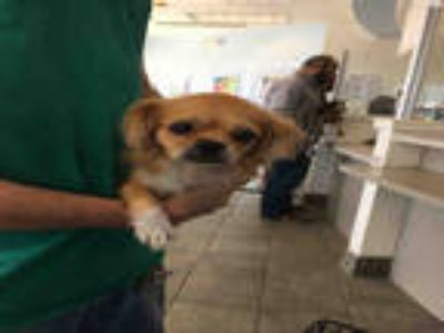 Adopt TRULY a Red/Golden/Orange/Chestnut - with White Pekingese / Mixed dog in