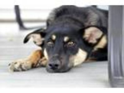 Adopt Bat Masterson a German Shepherd Dog