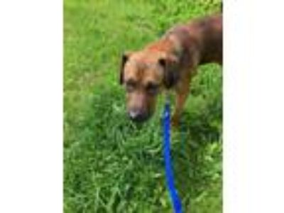 Adopt Chewy a Shepherd, Mixed Breed