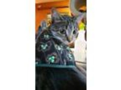 Adopt Kathryn a Domestic Short Hair, Tabby