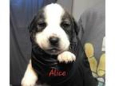 Adopt Alice (p) (Momma Bessy litter) a Black - with White Beagle / Mixed Breed