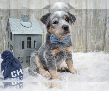Australian Cattle Dog PUPPY FOR SALE ADN-130313 - BLUE