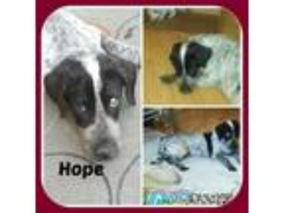 Adopt HOPE a English Setter