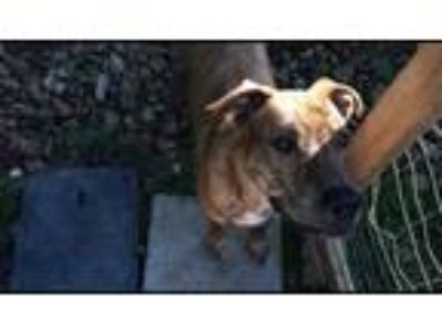Adopt Hiccup a Brindle Plott Hound / American Pit Bull Terrier dog in