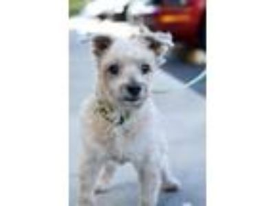 Adopt Miracle a Terrier