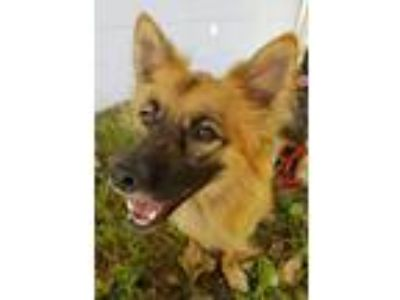 Adopt Tito a Collie / Shepherd (Unknown Type) / Mixed dog in Fort Myers