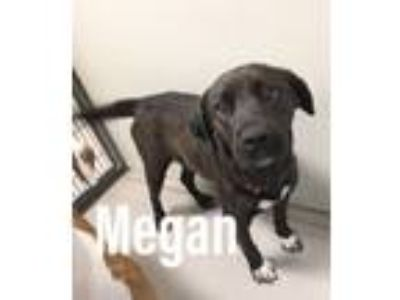 Adopt Megan 116357 a Brown/Chocolate Labrador Retriever dog in Joplin