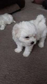 Bichon Frise puppy for home