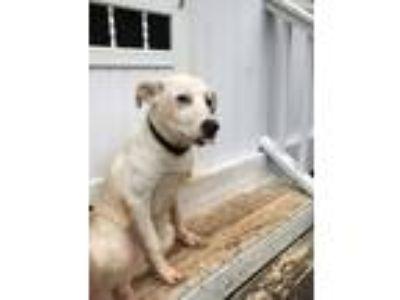Adopt Chloe a White Labrador Retriever / Great Pyrenees / Mixed dog in Haddock