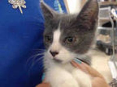 Adopt EASTON a Gray or Blue (Mostly) Domestic Shorthair / Mixed (short coat) cat