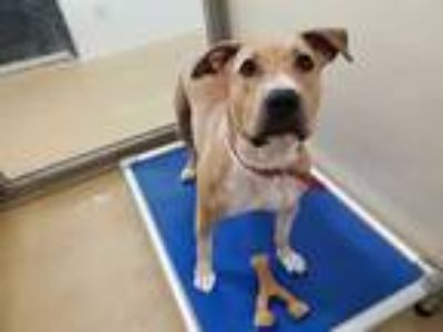 Adopt CANELA a Tan/Yellow/Fawn American Pit Bull Terrier / Mixed dog in Chapel