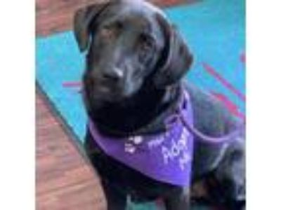 Adopt Cole Haan a Black Labrador Retriever / Mixed Breed (Medium) dog in