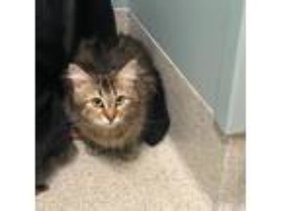 Adopt Godiva a Brown or Chocolate Domestic Longhair / Domestic Shorthair / Mixed