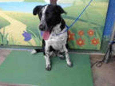 Adopt DANCER a Black - with White Border Collie / Mixed dog in Waco