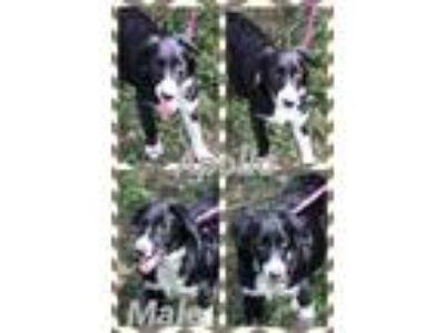 Adopt Apollo a Black - with White Australian Shepherd / Labrador Retriever /