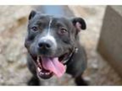 Adopt MERRYWEATHER a Black - with White American Pit Bull Terrier / Mixed dog in