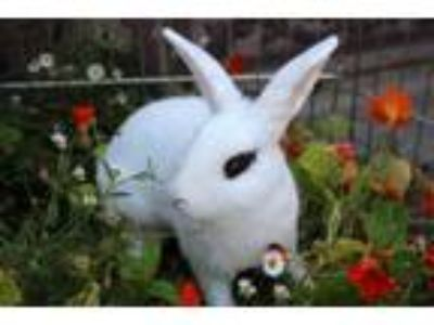 Adopt Mr. Moo a English Spot, Bunny Rabbit