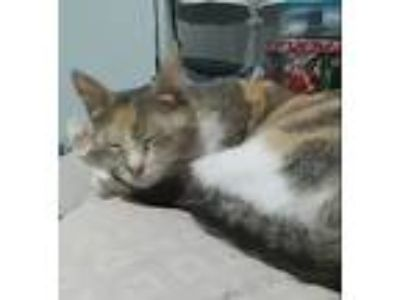 Adopt Callie a Tortoiseshell Calico cat in Panama City, FL (25591717)