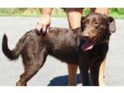 Adopt Rescue Abby a Brown/Chocolate Labrador Retriever / Mixed dog in Batavia