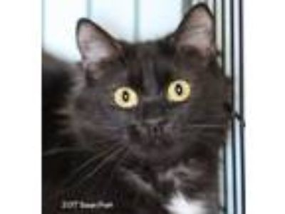 Adopt Hibiscus a Black (Mostly) Domestic Longhair (long coat) cat in Bedford