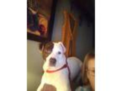 Adopt Cooper a Pit Bull Terrier