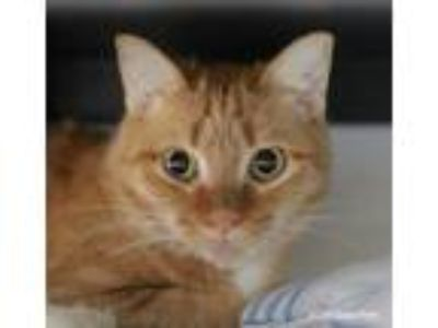 Adopt Rosalita a Orange or Red Tabby Domestic Shorthair (short coat) cat in