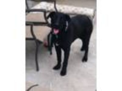Adopt Jack a Black Labrador Retriever dog in Santa Ana, CA (25451206)