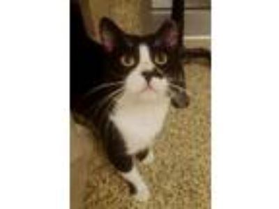 Adopt Oreo a All Black Domestic Shorthair / Mixed cat in Merriam, KS (25296728)