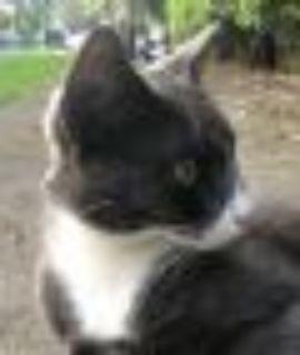 Greta Russian Blue - British Shorthair Cat