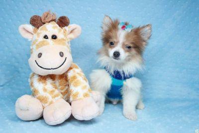 Gorgeous Parti Pomeranian Puppies, teacup & Toy Size! Las Vegas, Nevada.