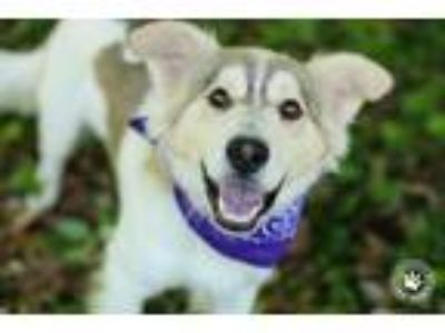 Adopt Mr. Tumnus a Tan/Yellow/Fawn - with White Collie / Mixed dog in Silver