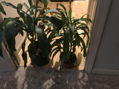 Two Tropical Plants That Need New Home