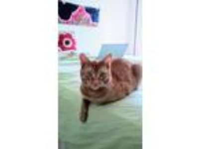 Adopt Goldie a Orange or Red Tabby Domestic Mediumhair cat in Greenbelt