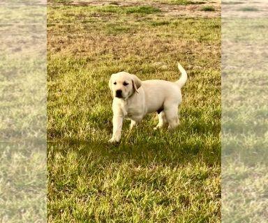 Labrador Retriever PUPPY FOR SALE ADN-120276 - Labrador Retriever Pups
