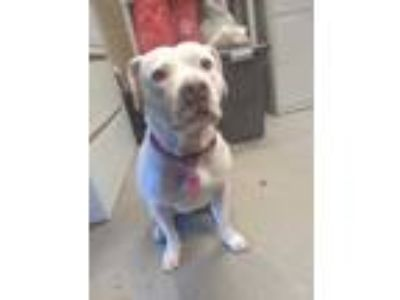 Adopt Junie a White American Pit Bull Terrier / Mixed dog in Cleveland
