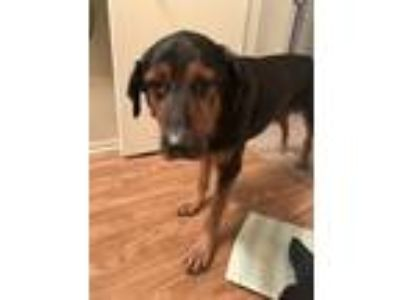 Adopt Bear a Black - with Tan, Yellow or Fawn Rottweiler / Terrier (Unknown