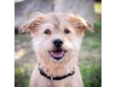 Adopt Cora a Tan/Yellow/Fawn Terrier (Unknown Type, Small) / Mixed dog in