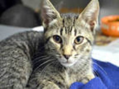 Adopt MARLEY a Gray, Blue or Silver Tabby Domestic Shorthair / Mixed (short