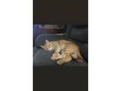 Adopt Arlo a Orange or Red Domestic Shorthair cat in Springtown, TX (25630175)