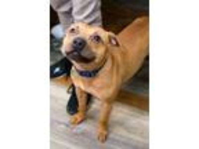 Adopt Rhea a Pit Bull Terrier / Mixed dog in Pittsburgh, PA (25458477)