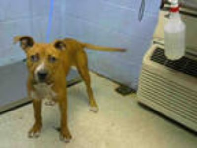 Adopt ANTIOCH a Tan/Yellow/Fawn - with White American Pit Bull Terrier / Mixed