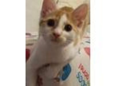 Adopt Delta a Orange or Red Tabby Domestic Shorthair (short coat) cat in