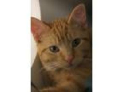 Adopt Queen Sarah Elizabeth a Orange or Red Domestic Shorthair / Mixed cat in