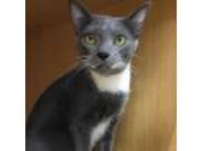 Adopt Spitz a Russian Blue, Domestic Short Hair