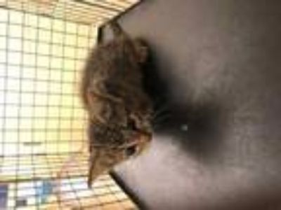 Adopt 42179461 a Gray or Blue American Shorthair / Domestic Shorthair / Mixed