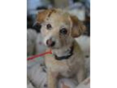 Adopt Jack a Tan/Yellow/Fawn - with White Jack Russell Terrier / Mixed dog in