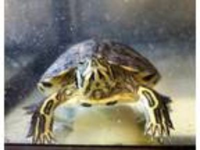 Adopt Iris a Turtle - Other reptile, amphibian, and/or fish in Hughesville
