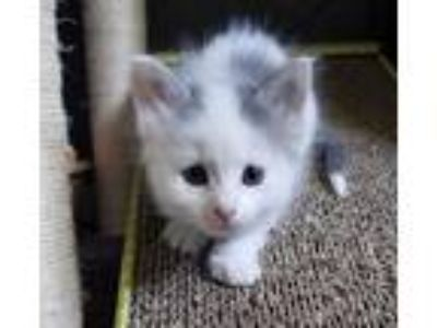 Adopt Jen s kittens a White (Mostly) Domestic Mediumhair / Mixed (medium coat)