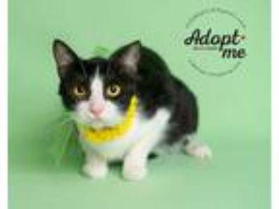 Adopt Ceanna a Black & White or Tuxedo Domestic Shorthair (short coat) cat in